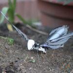 metafly posé dans l'herbe